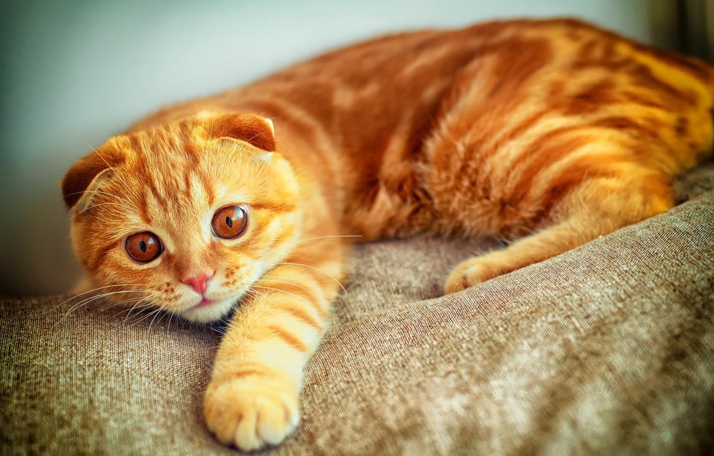 Photo wallpaper cat, look, paw, portrait, red, plays, Scottish fold