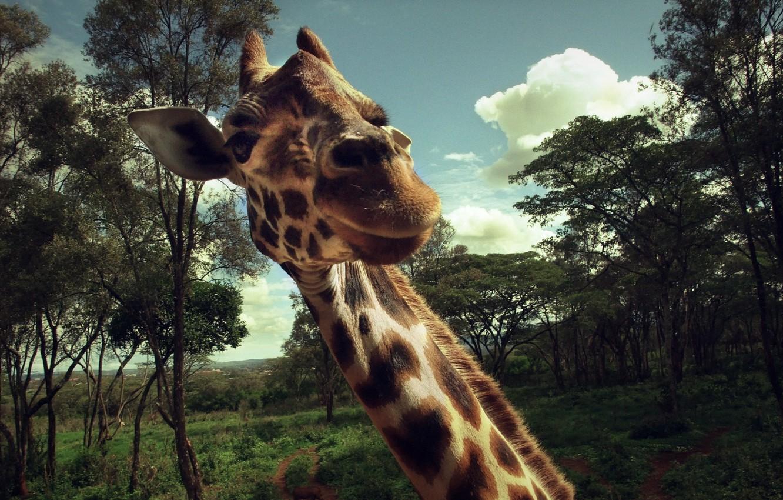 Photo wallpaper macro, animal, meeting, giraffe, neck, delight, surprise