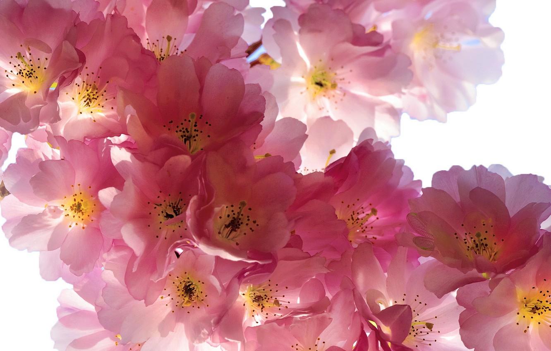 Photo wallpaper flowers, branches, cherry, beauty, spring, petals, Sakura, gentle, pink, buds, flowering, pink, flowers, Spring, beauty, …
