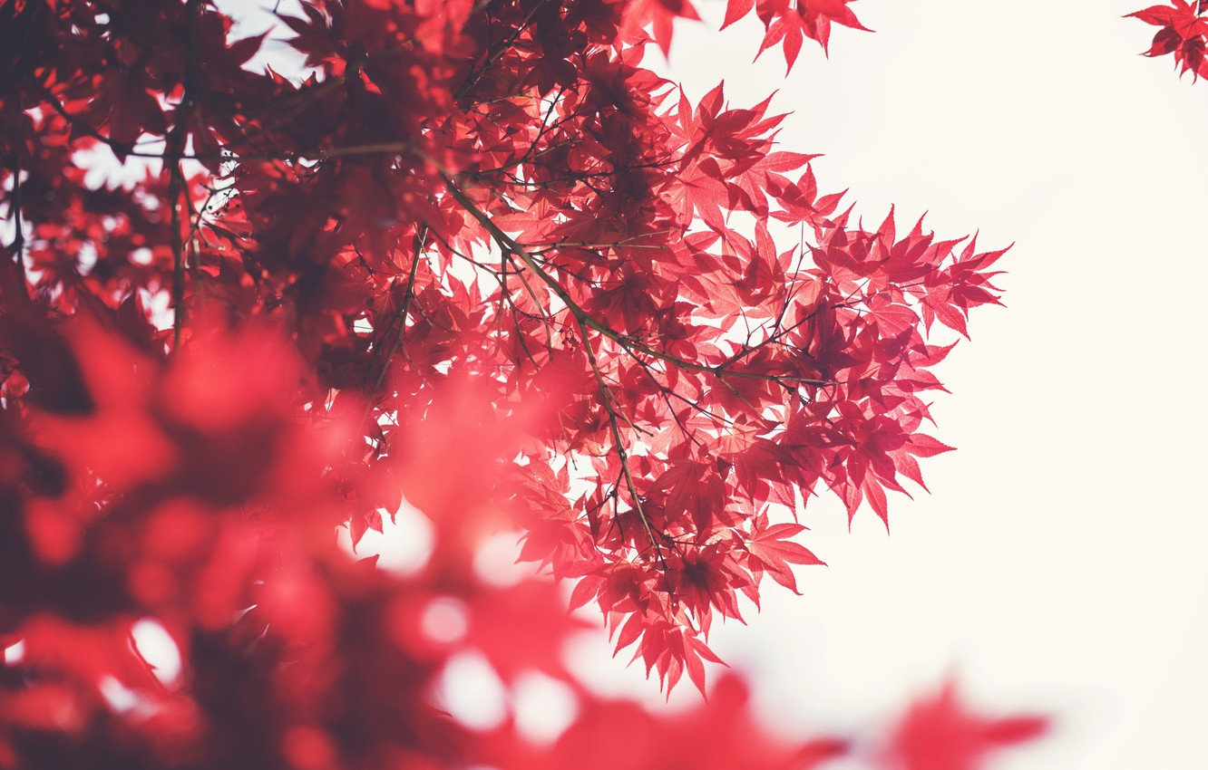 Photo wallpaper leaves, tree, red