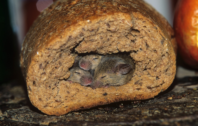 Photo wallpaper Nora, bread, mouse
