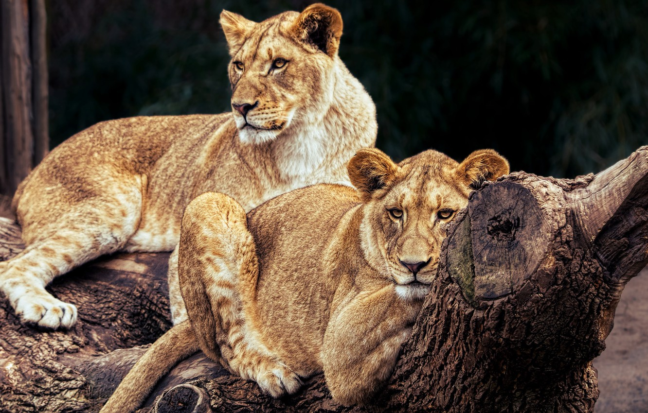 Photo wallpaper cats, nature, tree, stay, Leo, pair, log, wild cats, lions, zoo, lie, lioness, pride