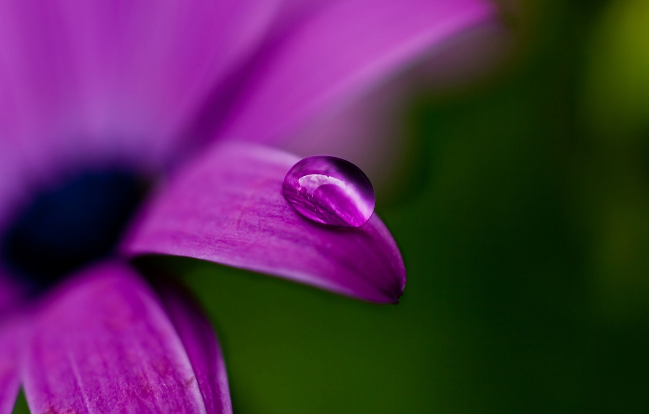 Photo wallpaper flower, purple, macro, nature, green, Rosa, plant, color, drop, petal, purple