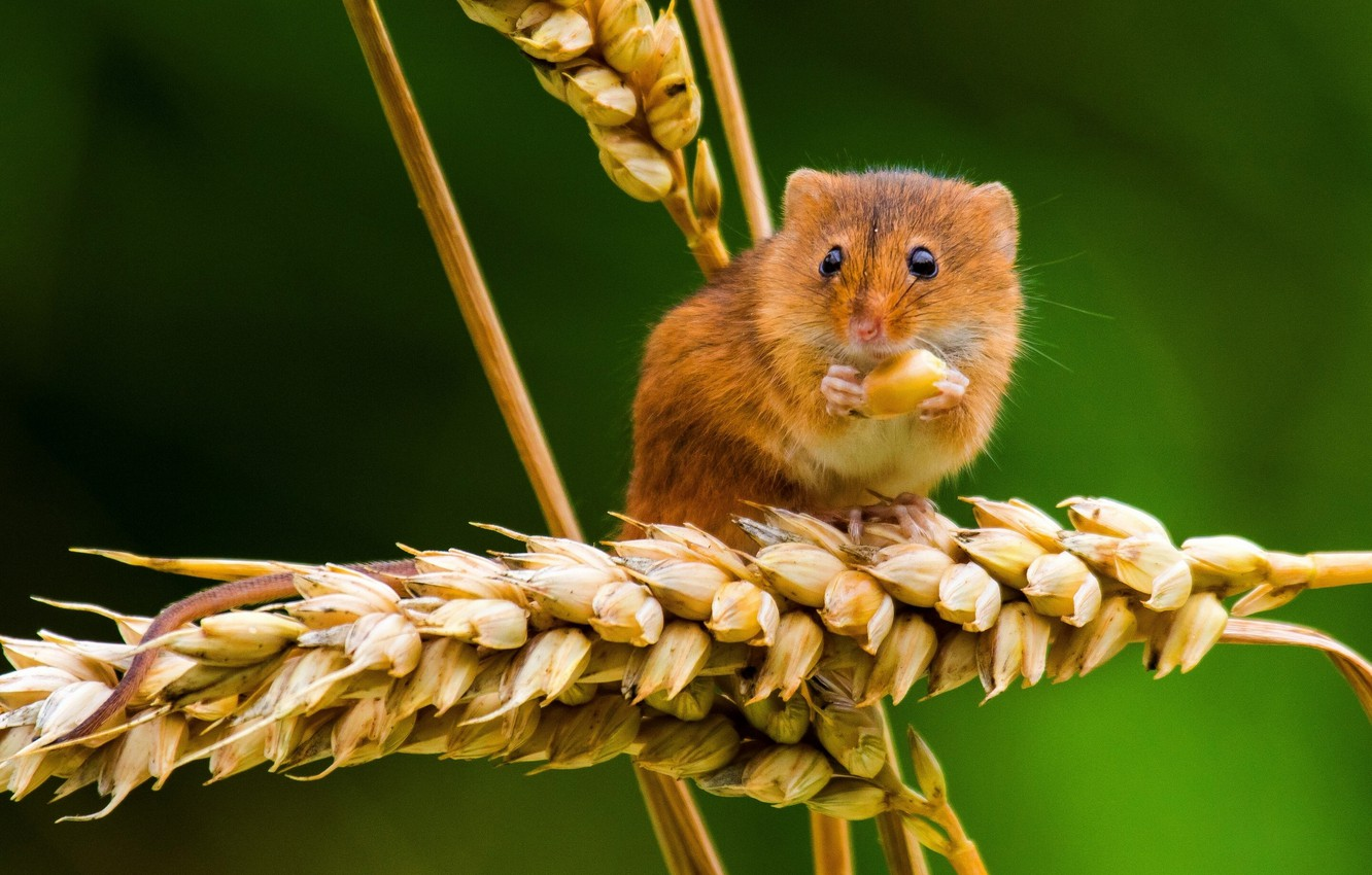 Photo wallpaper macro, mouse, spikelets, ears, the mouse is tiny