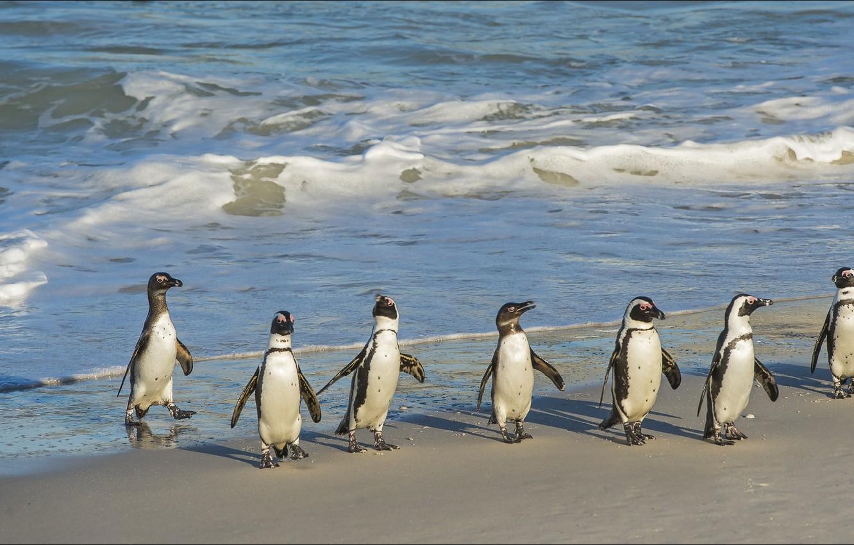 Photo wallpaper seven, nature, Animals, penguins