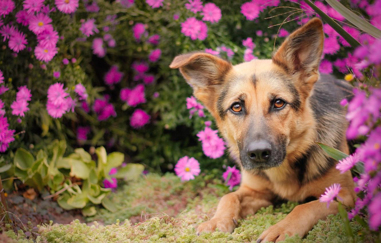 Photo wallpaper look, face, flowers, dog, shepherd, German shepherd