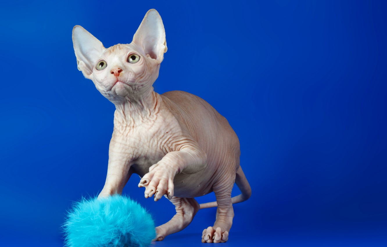 Photo wallpaper cat, look, Sphinx