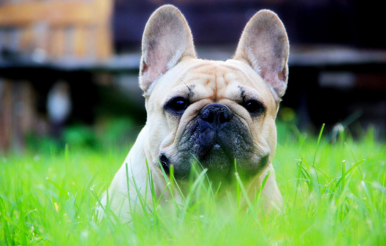 Photo wallpaper grass, face, the sun, head, French bulldog, fawn