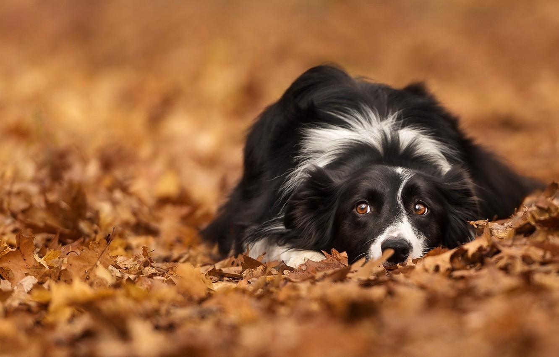 wallpaper autumn, look, leaves, foliage, dog, bokeh, the borderphoto wallpaper autumn, look, leaves, foliage, dog, bokeh, the border