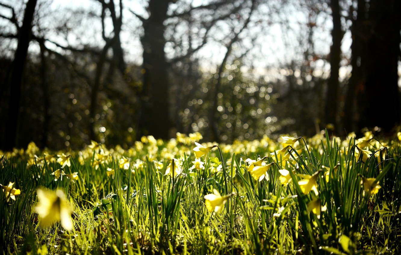 Photo wallpaper flowers, nature, glade, spring, yellow, buds, daffodils