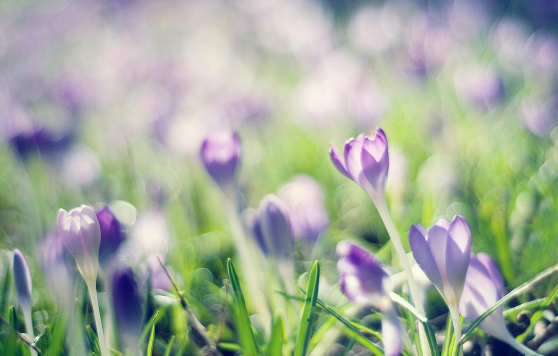 Photo wallpaper lilac, spring, crocuses, crocuses