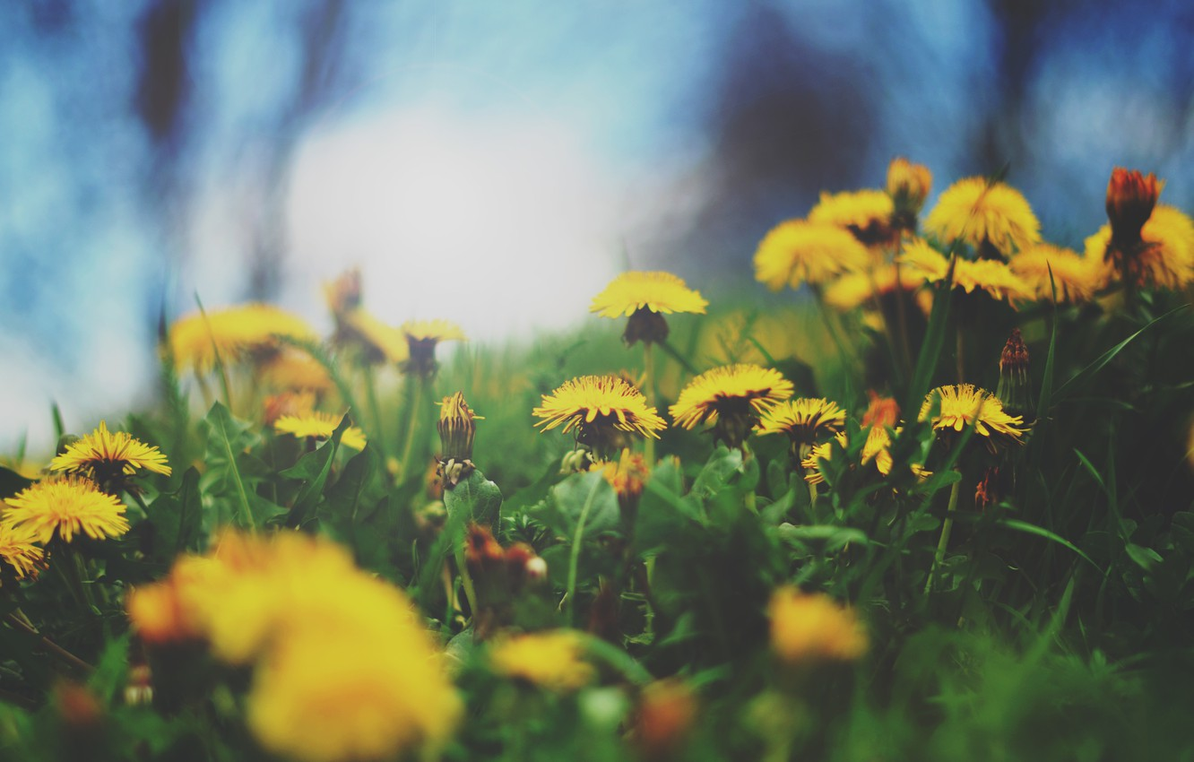 Photo wallpaper flowers, yellow, mother and stepmother