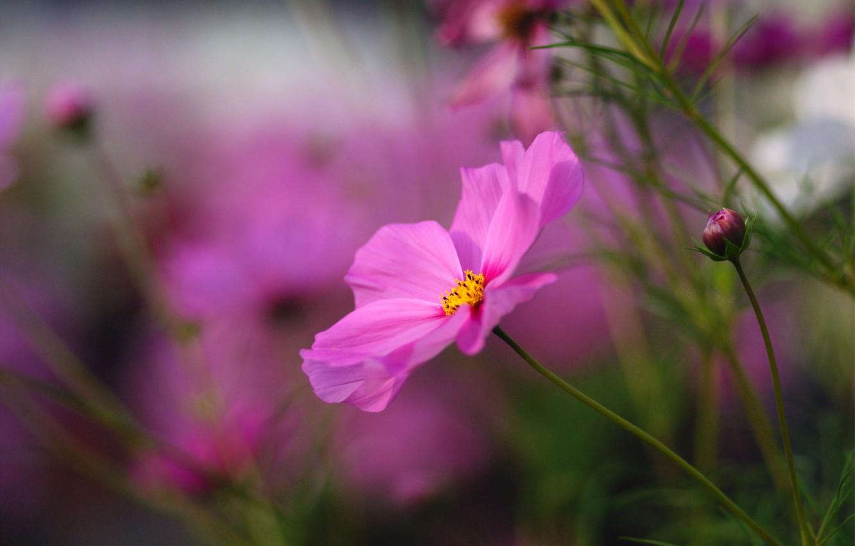 Photo wallpaper flower, macro, flowers, bright, pink, blur, buds, Kosmeya