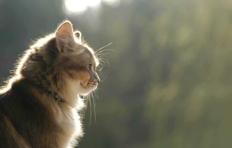 Photo wallpaper cat, cat, look, smile, profile, brown