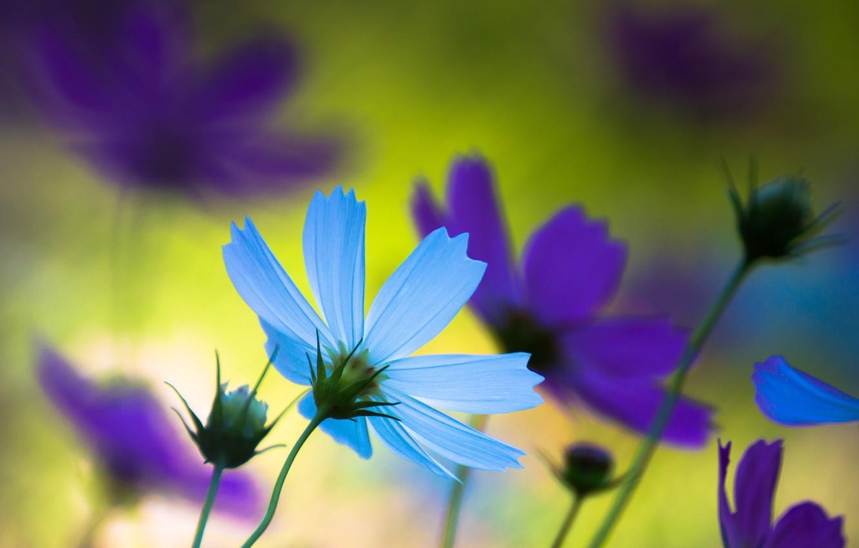 Photo wallpaper purple, summer, macro, flowers, nature, mood, blue, Japan, petals
