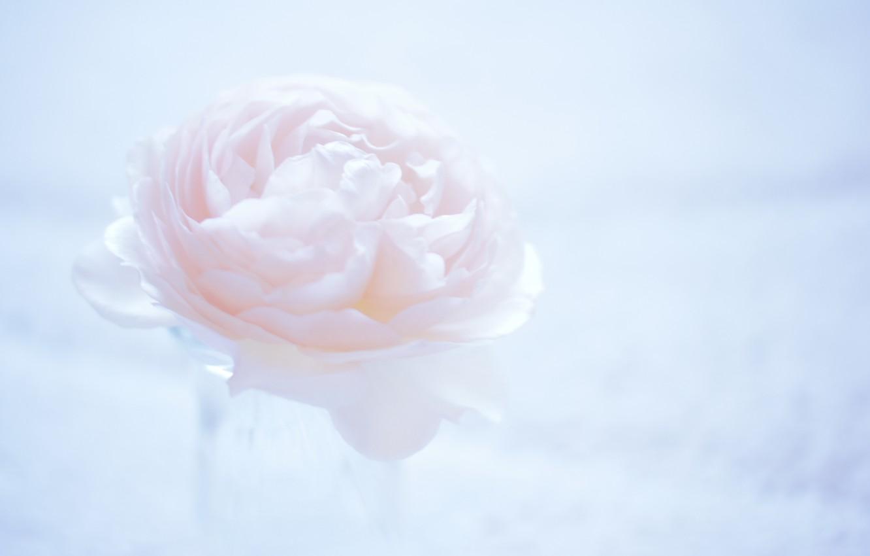 Photo wallpaper flower, macro, background, pink, light, Camellia