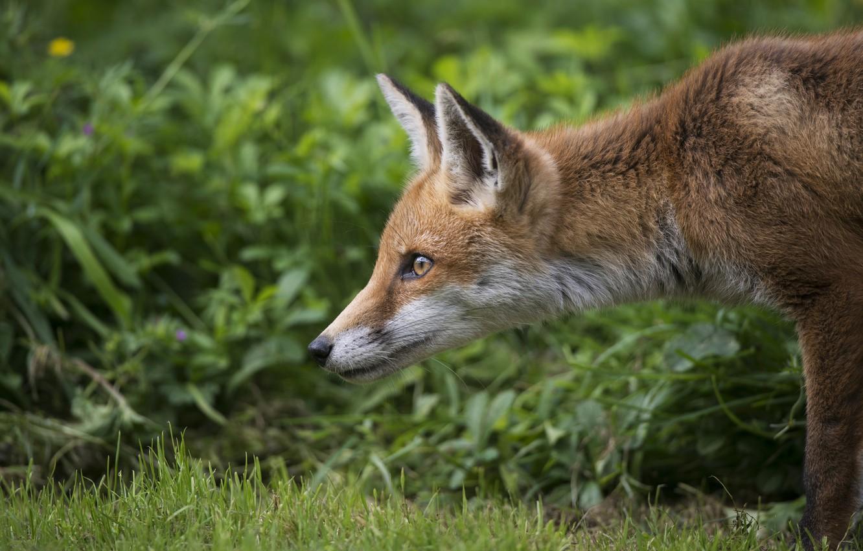 Photo wallpaper greens, grass, red, muzzle, Fox, ears, Fox