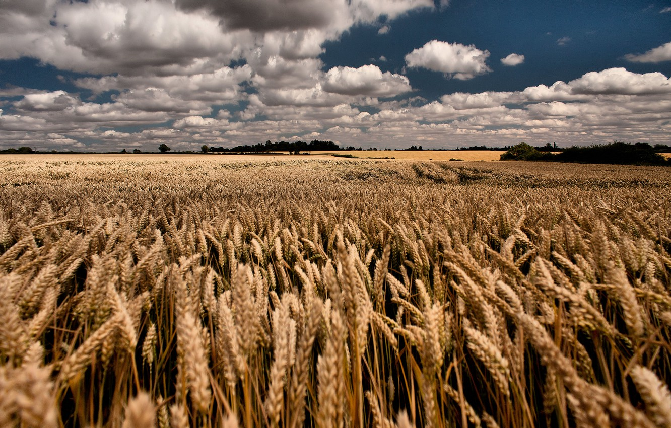 Photo wallpaper wheat, field, summer, the sky, clouds