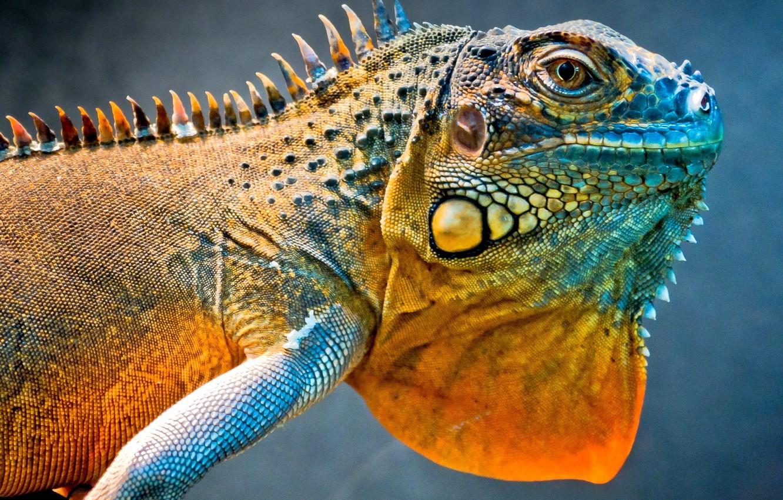 Photo wallpaper dragon, lizard, iguana