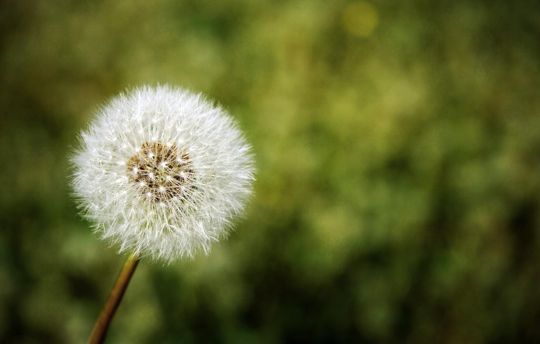 Photo wallpaper flower, nature, dandelion