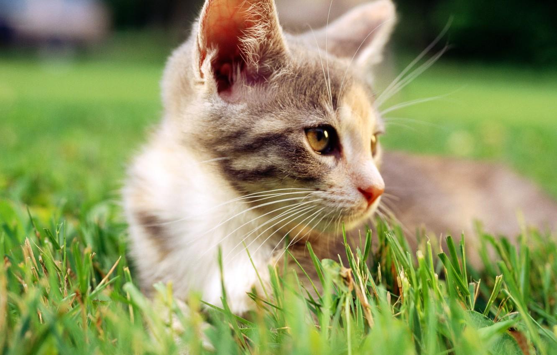 Photo wallpaper cat, white, grass, cat, macro, cat