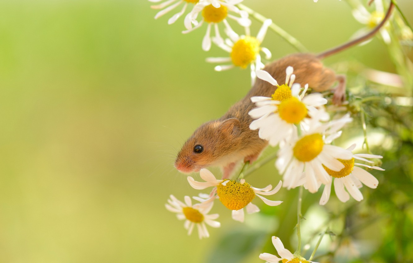 Photo wallpaper summer, nature, Harvest Mouse