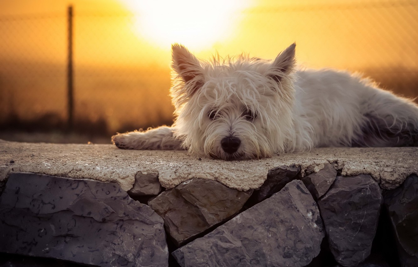 Photo wallpaper look, sunset, dog