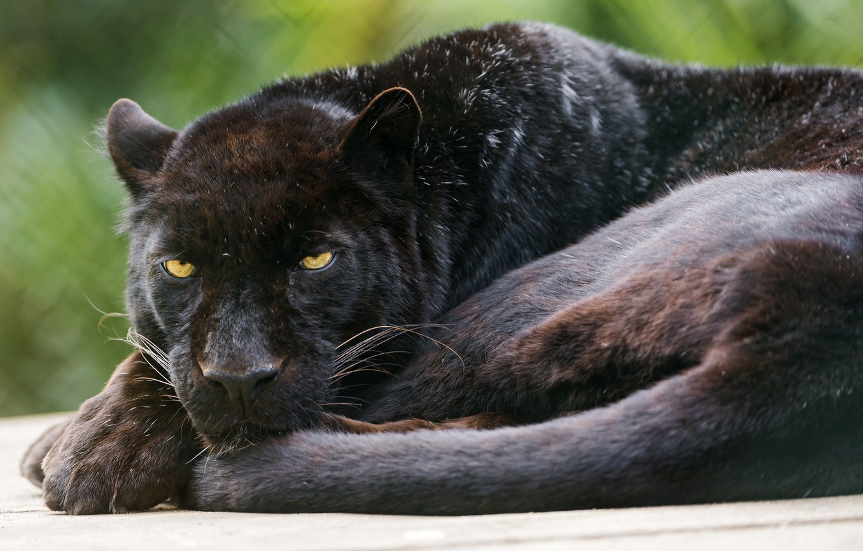 Wallpaper Cat Black Panther Leopard C Tambako The Jaguar Images For Desktop Section Koshki Download