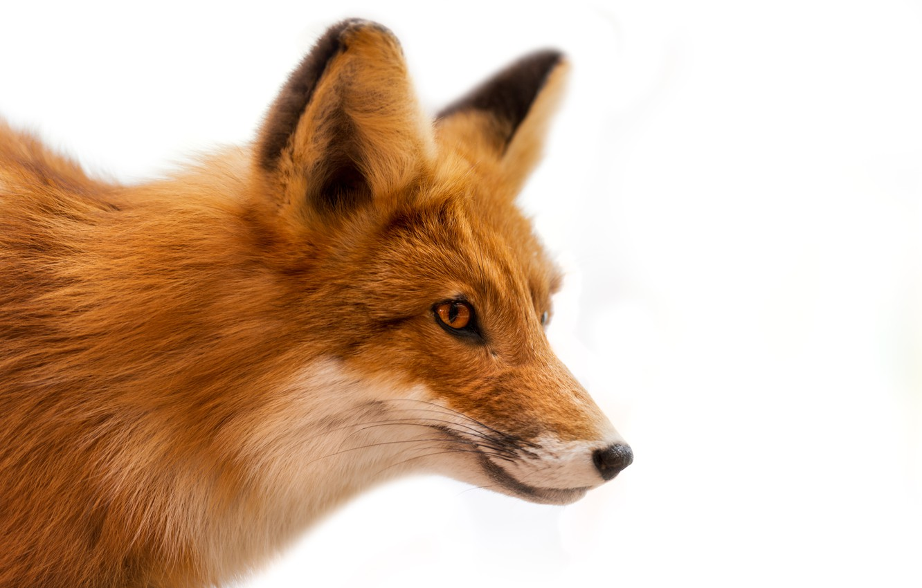 Photo wallpaper wool, muzzle, Fox, white background, red