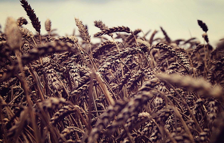 Photo wallpaper wheat, field, the sky, nature, spikelets, ears, fields, sky macro, spike