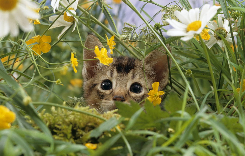 Photo wallpaper cat, grass, macro, nature, kitty, glade, chamomile, meadow