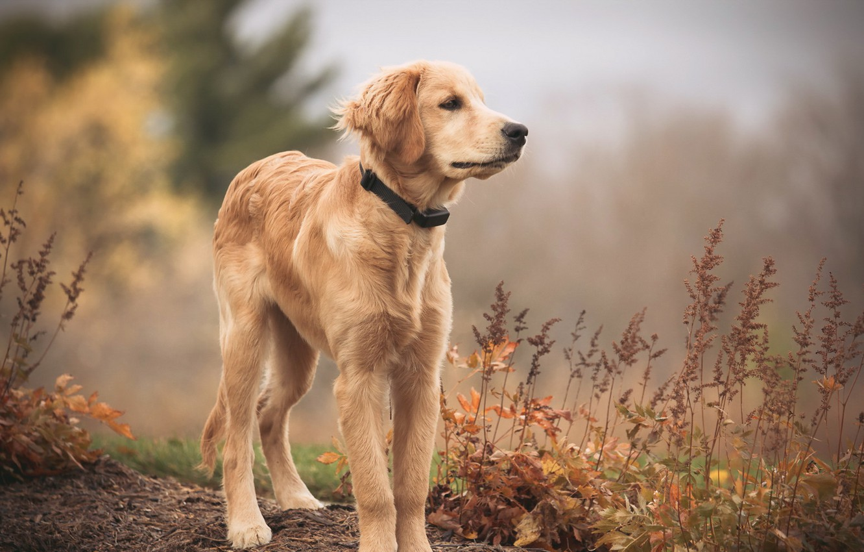 Photo wallpaper look, each, dog, Golden Retriever