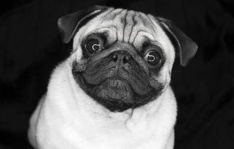 Photo wallpaper eyes, pug, doggie