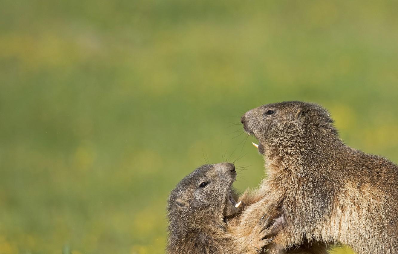 Photo wallpaper a couple, showdown, rodents, marmots, Who's the boss?, Alpine marmots