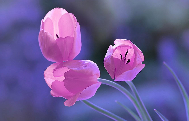 Photo wallpaper background, tulips, trio, buds