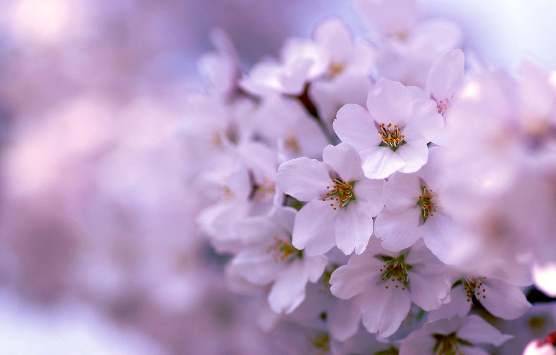 Photo wallpaper tree, lilac, spring, flowering