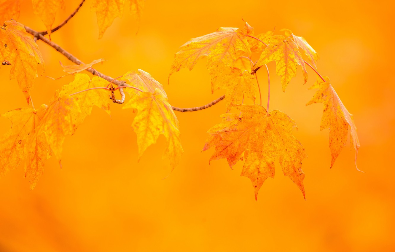 Photo wallpaper autumn, leaves, macro, background, branch, maple