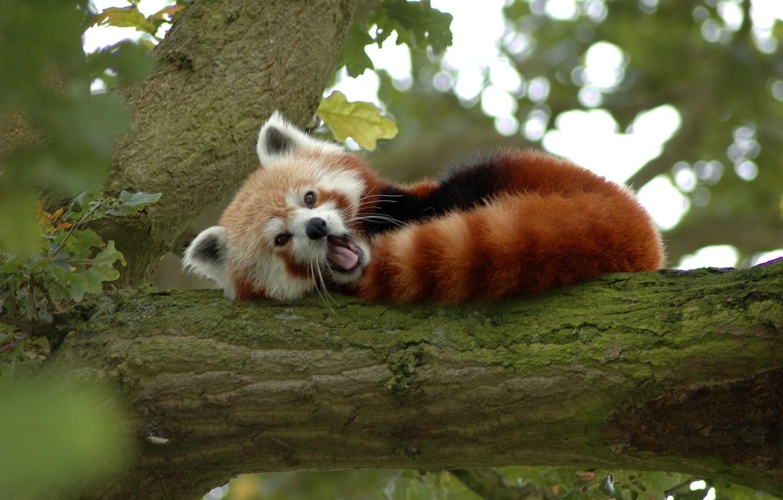 Photo wallpaper tree, bear, Panda, red, small