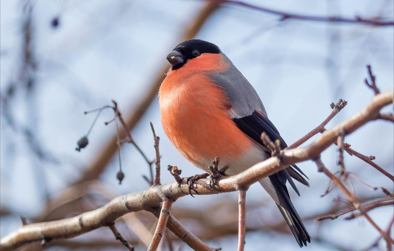 Photo wallpaper bird, branch, bullfinch