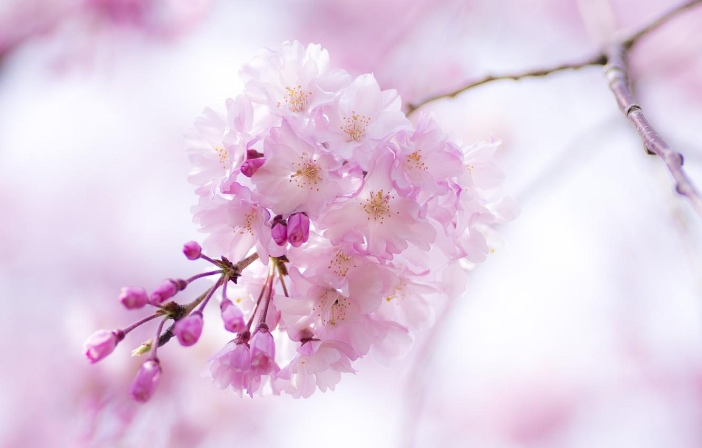 Photo wallpaper macro, flowers, pink, branch, spring, Sakura, flowering