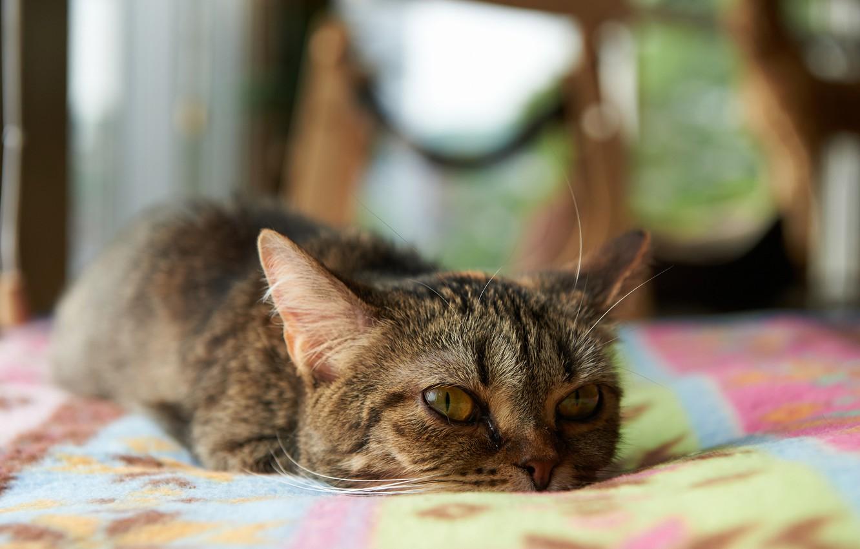 Photo wallpaper cat, room, Kote, lying