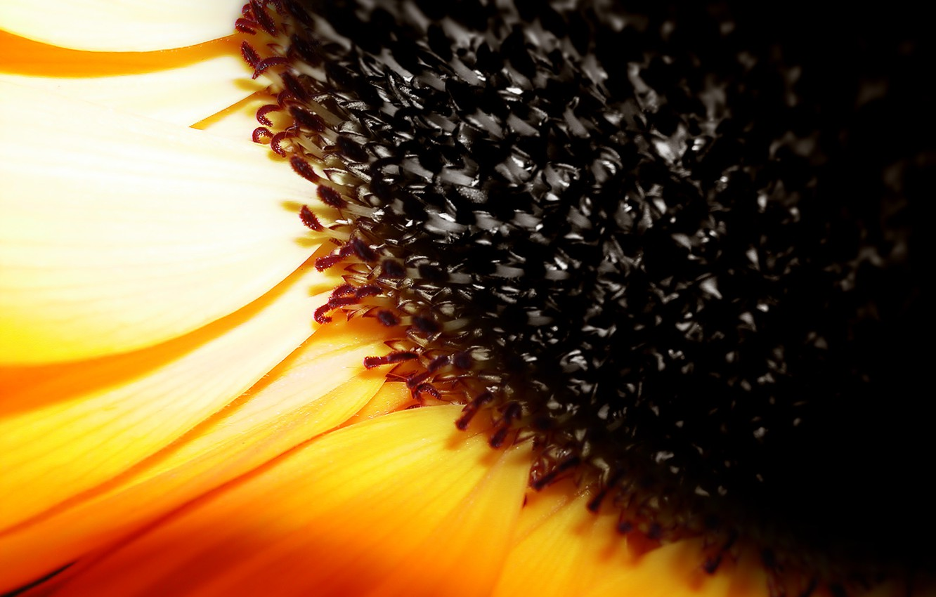 Photo wallpaper seed, Sunflower, yellow