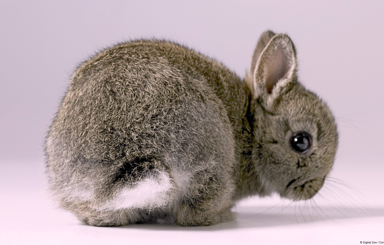 Photo wallpaper Grey, Wallpaper, Rabbit, Baby Bunny