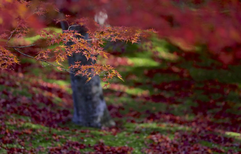 Photo wallpaper autumn, leaves, macro, focus, Tree, blur, red, orange, maple