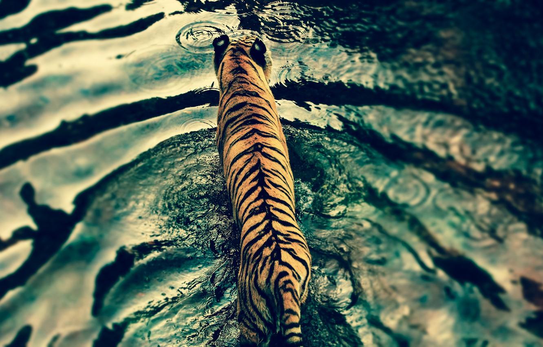Photo wallpaper water, tiger, predator, Disney's Animal Kingdom