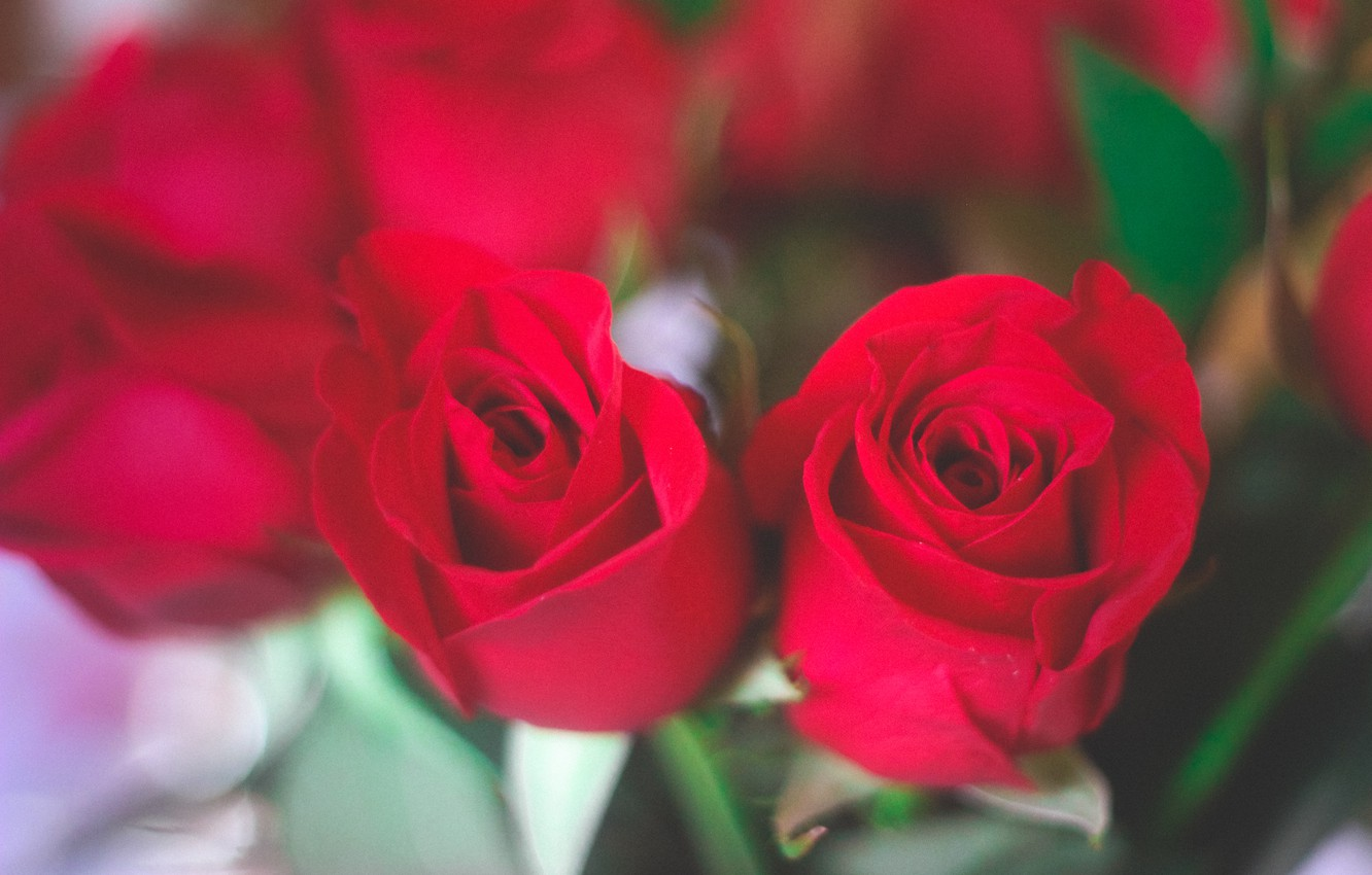 Photo wallpaper flowers, roses, red