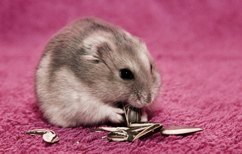 Photo wallpaper hamster, fluffy, seeds
