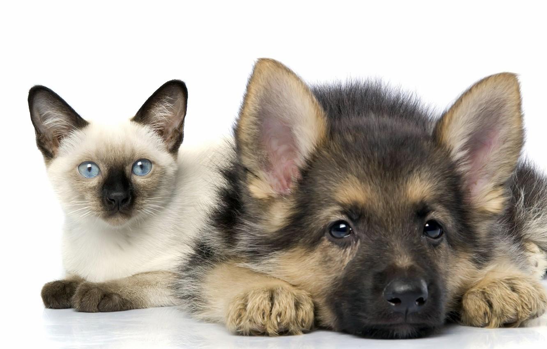 Photo wallpaper cat, friendship, puppy, kitty, Siamese, shepherd