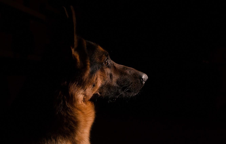 Photo wallpaper look, each, dog, shepherd