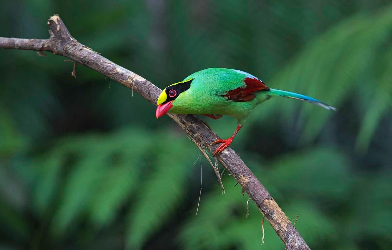 Photo wallpaper bird, paint, branch, feathers, beak, tail, green Cissa